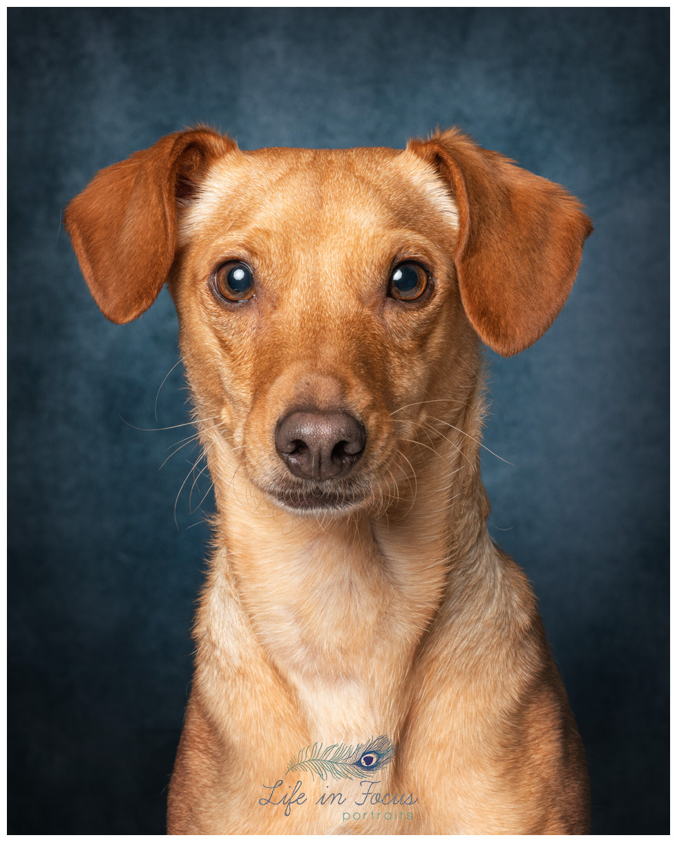 Dachshund terrier cross pet portrait Life in Focus Portraits dog photographer Cardross Dumbarton