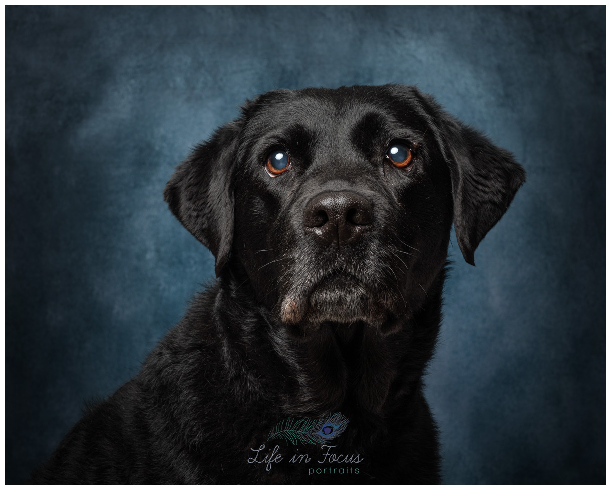 black labrador retriever studio photo Life in Focus Portraits pet dog photographer Luss Alexandria