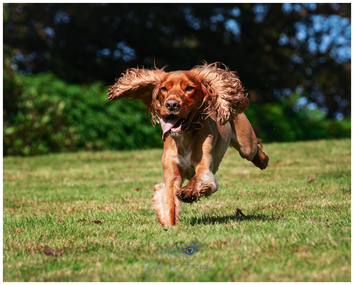 red working cocker spaniel running outdoor dog photoshoot Life in Focus Portraits pet dog photographer Rhu Helensburgh