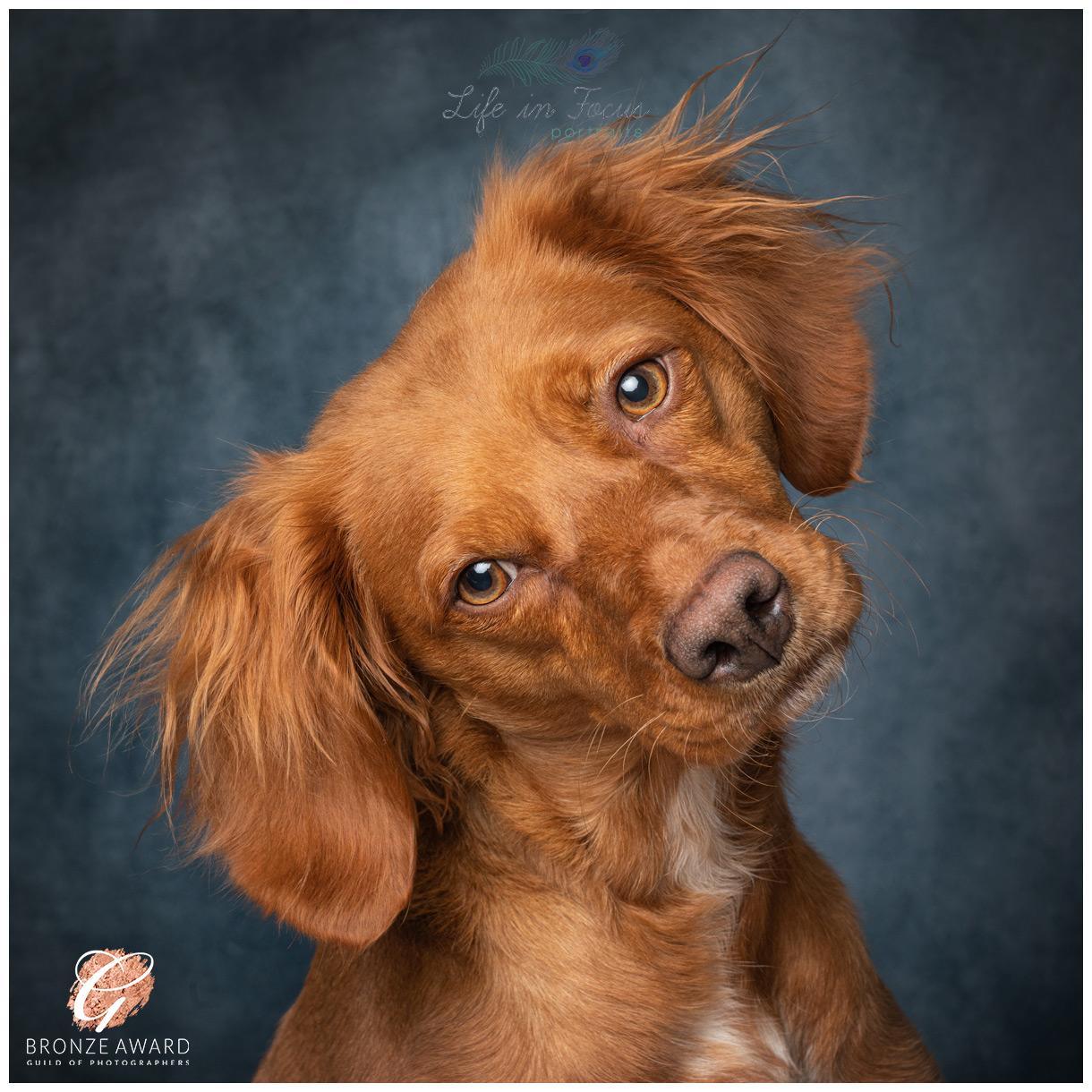 Award winning pet portrait red working cocker spaniel vizsla cross Life in Focus Portraits dog photographer Cardross