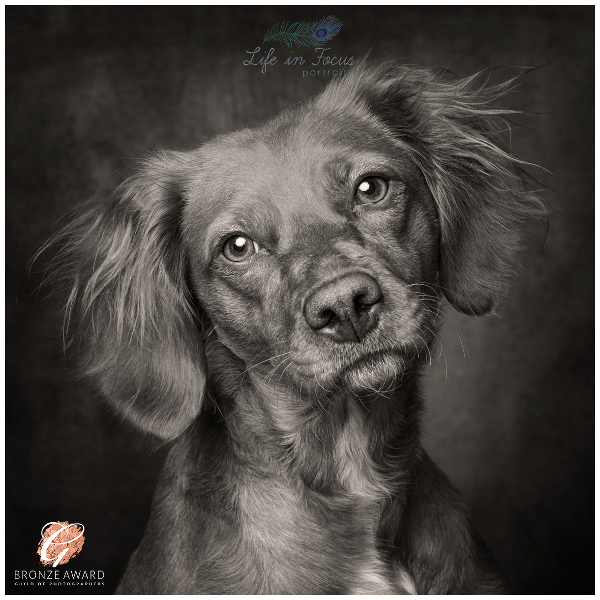 Award winning toned black and white photo of working cocker spaniel Life in Focus Portraits dog portrait photography Cardross