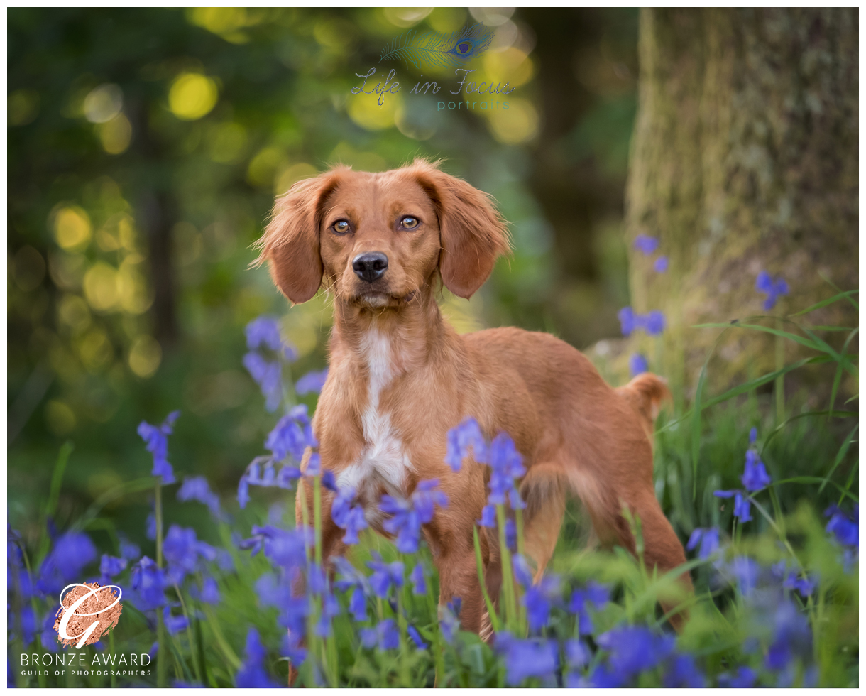 Award winning photo red working cocker spaniel vizsla cross in bluebell wood Life in Focus Portraits outdoor pet dog photography sessions Helensburgh